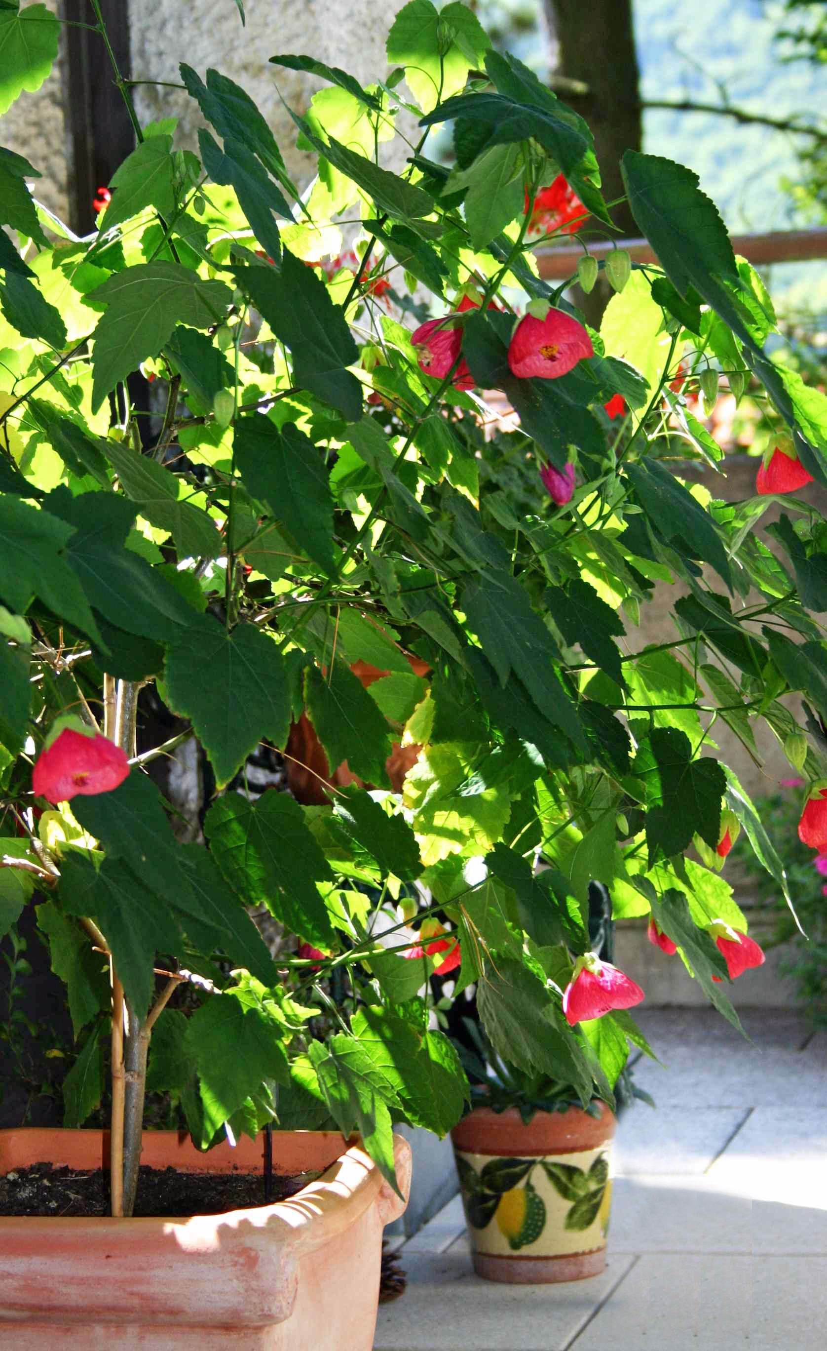 Abutilon plants growing in a container