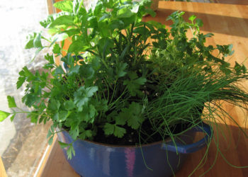 Growing herbs indoors during the winter
