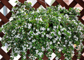 basket of bacopa flowers