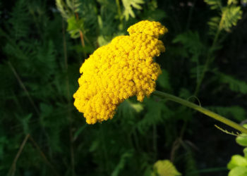 achillea growing tips