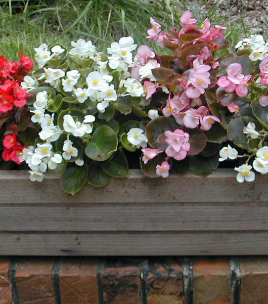 easy care instructions for growing begonias