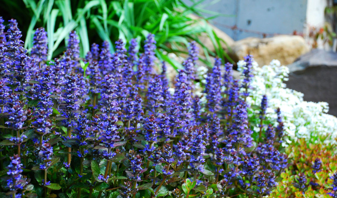 ajuga growing in the garden