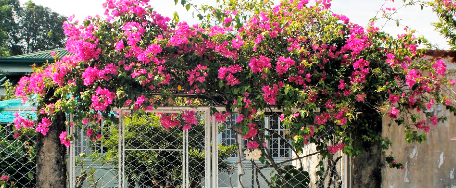 how to grow the best bougainvillea
