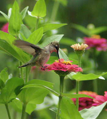 A hummingbird feeding on some flowers