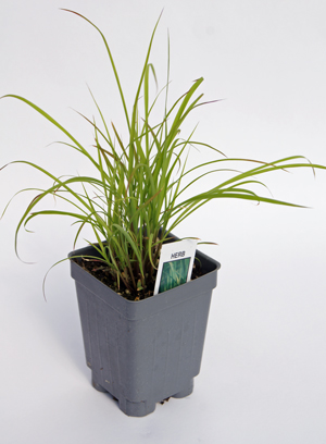 Lemon Grass Plant Growig In A Container