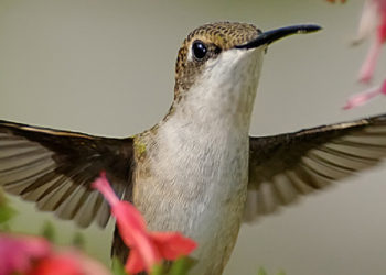 How to grow plants that attract hummingbirds