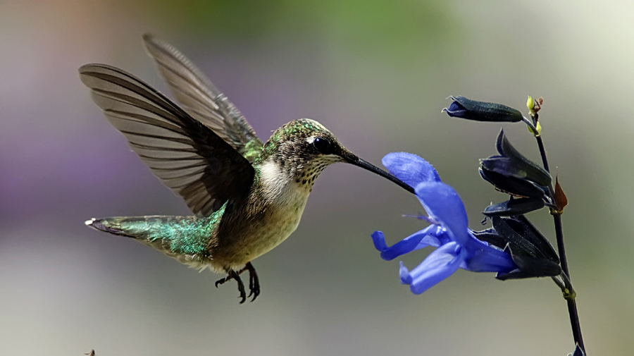 Hummingbird ready to feed on a Salvia flower