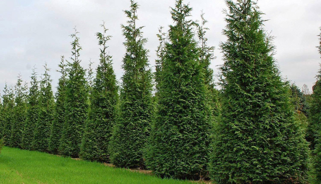 how to grow healthy spring grove arborvitae