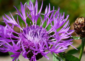 growing centaurea plants