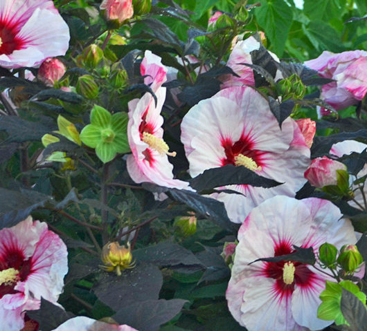 Growing Hardy Hibiscus Plants in the Garden
