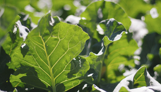 Why you should grow collard greens