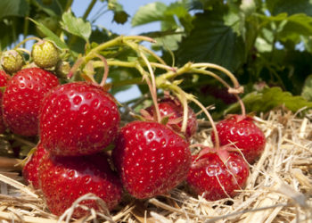 Why you should grow you own strawberry plant