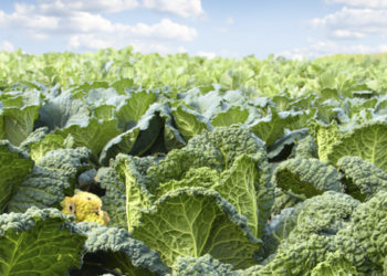 Kale plants are a superfood