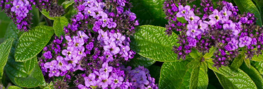 learn how to grow heliotrope plants