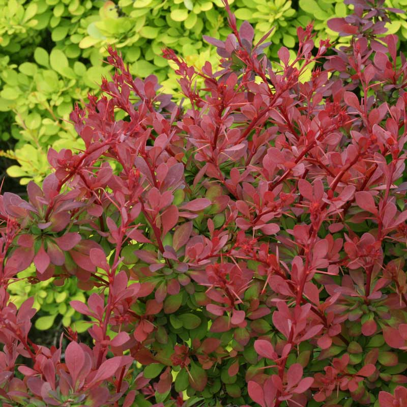 how to grow sunjoy cinnamon barberry plants
