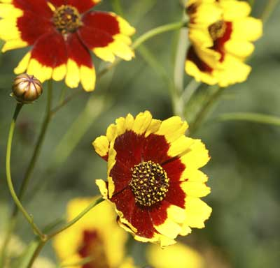growing coreopsis plants