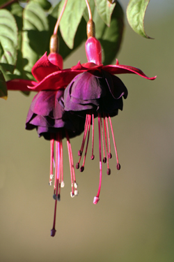 How to overwinter your fuchsia plants