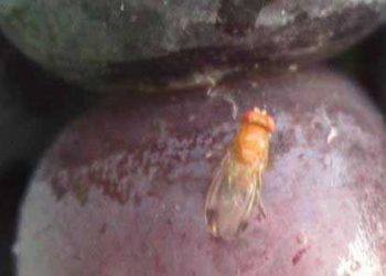 How to control the Spotted Wing Drosophila