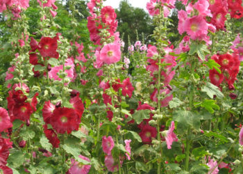 growing beautiful alcea plants