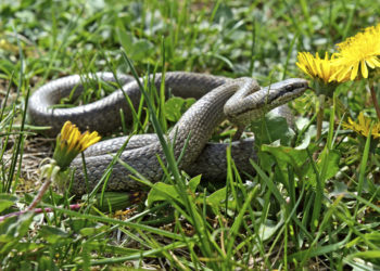 snake slithering through the grass