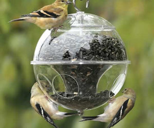 birds eating from a black oil sunflower seed feeder