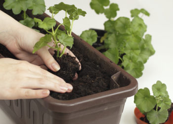 How to grow geranium plants from seed