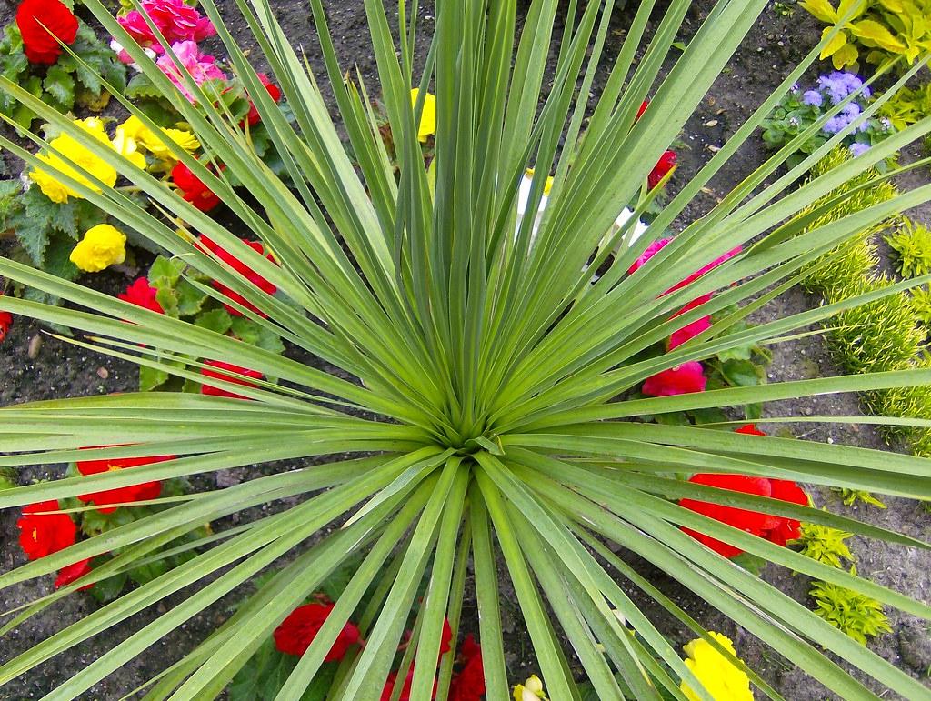 how to grow dracaena spike