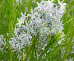 How to grow amsonia plants