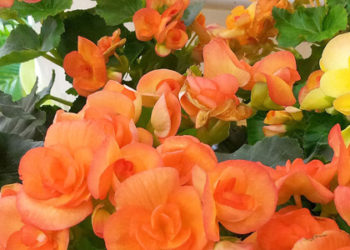Colorful Begonia Flowers