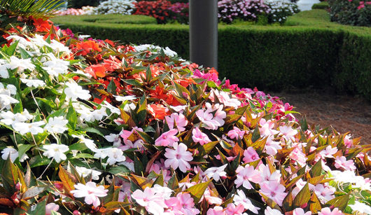 SunPatiens Impatiens Plants for Sale