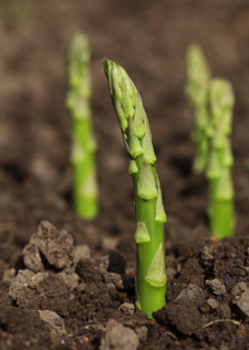 Asparagus growing in garden soil