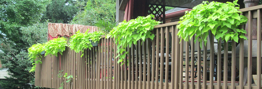 Ipomea Sweet Potato Vines Hanging From Baskets