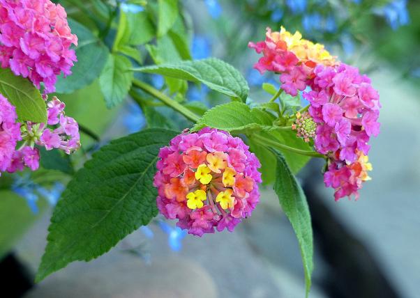 Learning how to grow lantana plants