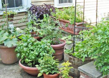 Growing vegetables in patio containers