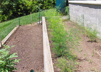 Asparagus Growing In Raised Bed