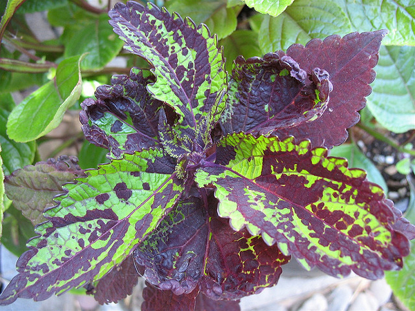 Growing Coleus Inside