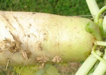 Large GroundHog Radish Plant
