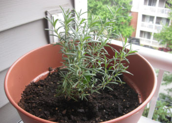 Rosemary herbs growing in a container
