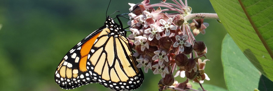 A monarch butterfly on a milkweed plant