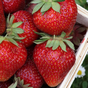 Growing Fall Planted Strawberries
