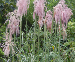 Pink Pampas Grass Plant