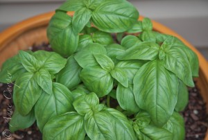 Basil herb container plant