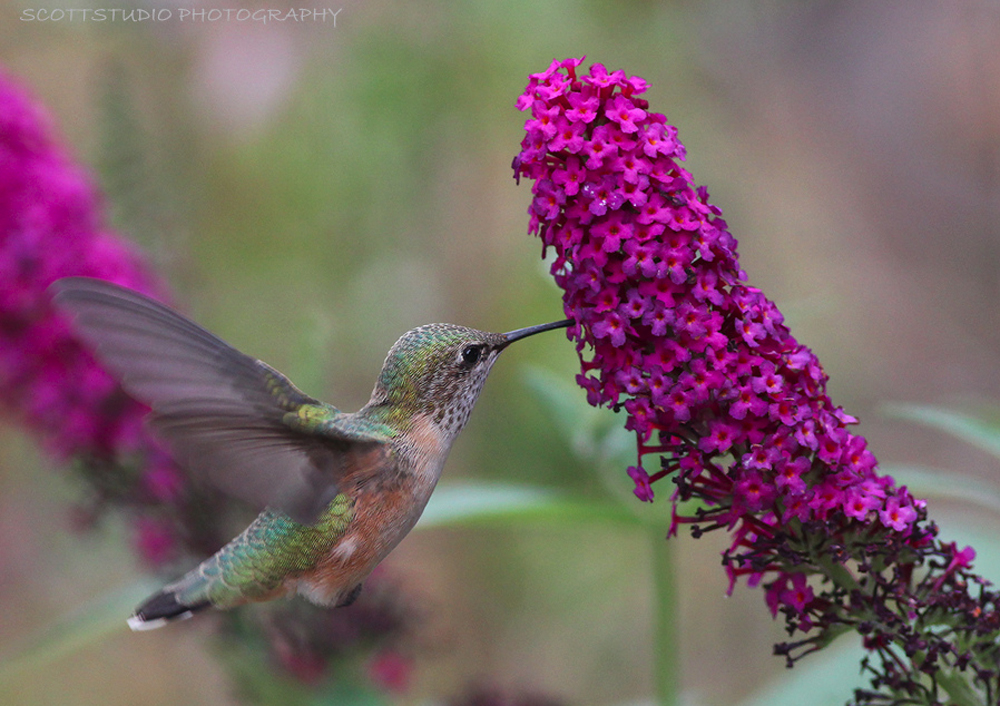 Hummingbird dinning on a Butterfly Bush