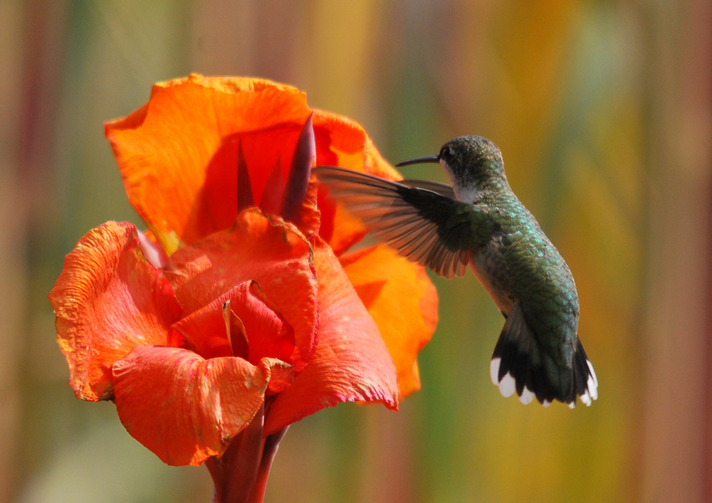 Hummingbird feeding on a Canna flower