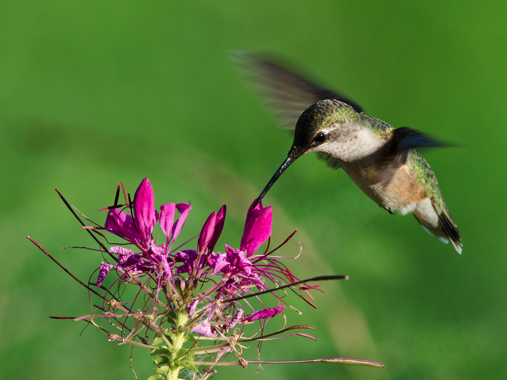 Hummingbird feeding from a Cleome flower