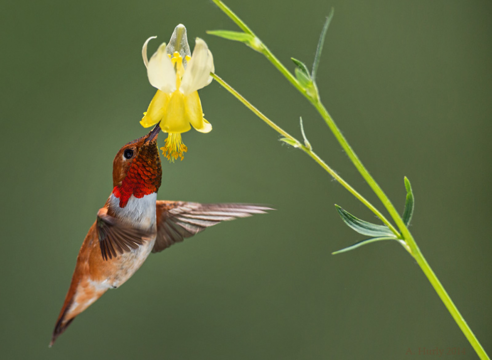 Rufous hummingbird enjoying a visit to a Columbine plant