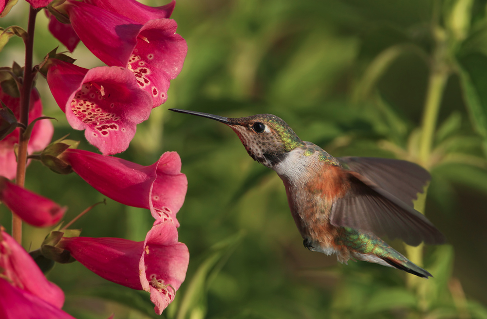 Hummingbirds love Digitalis plants