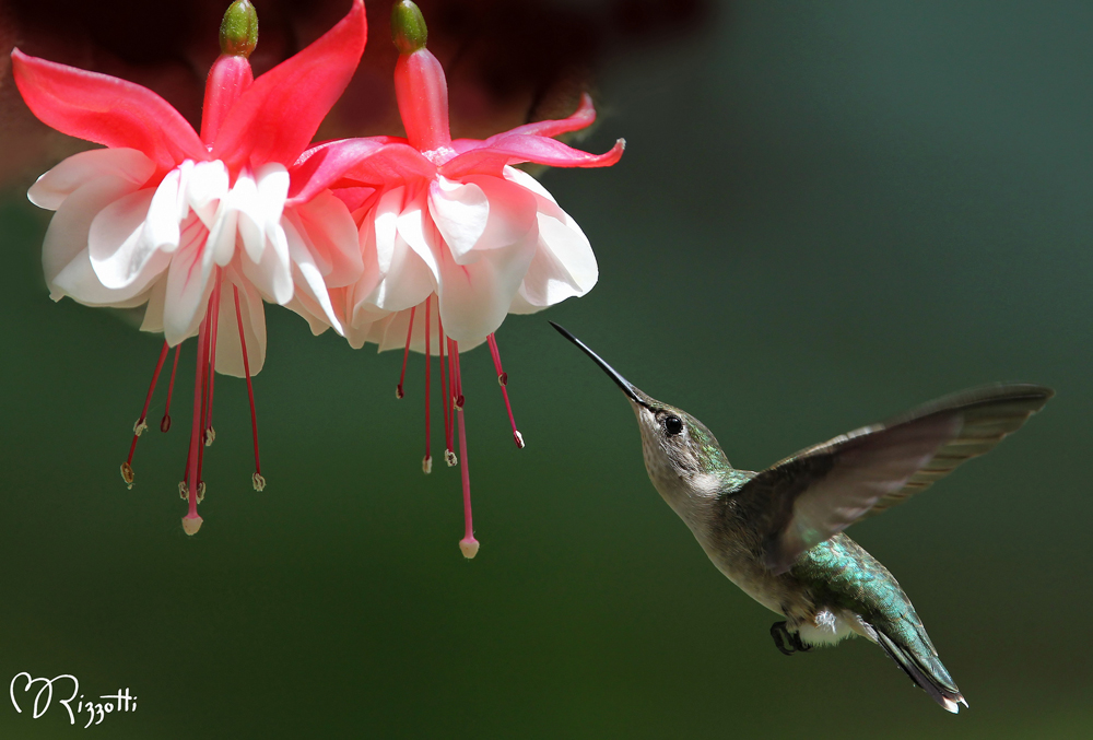 Ruby-throated Hummingbird enjoying Fuchsia flowers