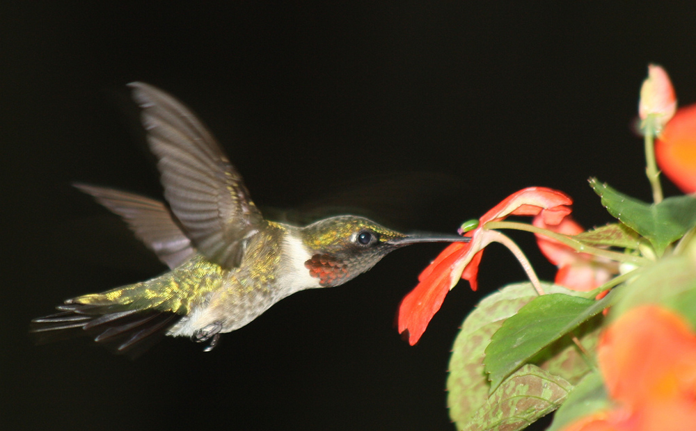 Hummingbird eating from a Impatiens flower
