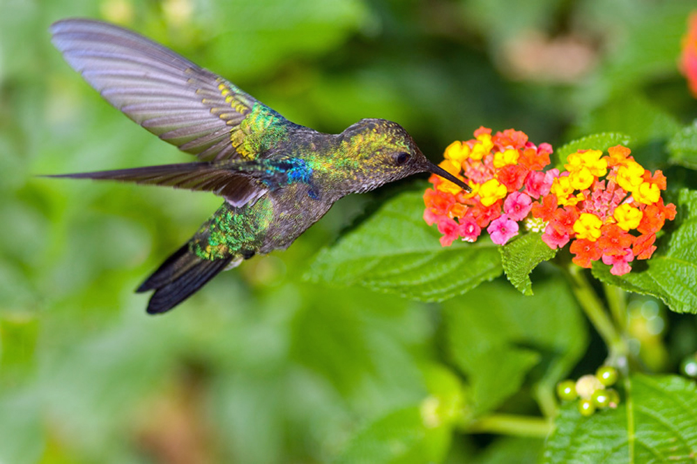 Hummingbird drinking from a flowering Lantana plant